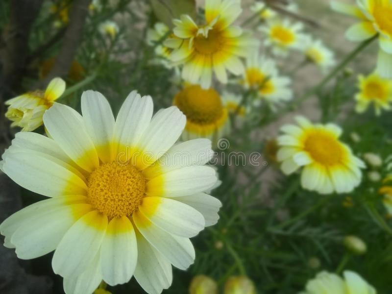 White and yellow beautiful flowers in park stock photography