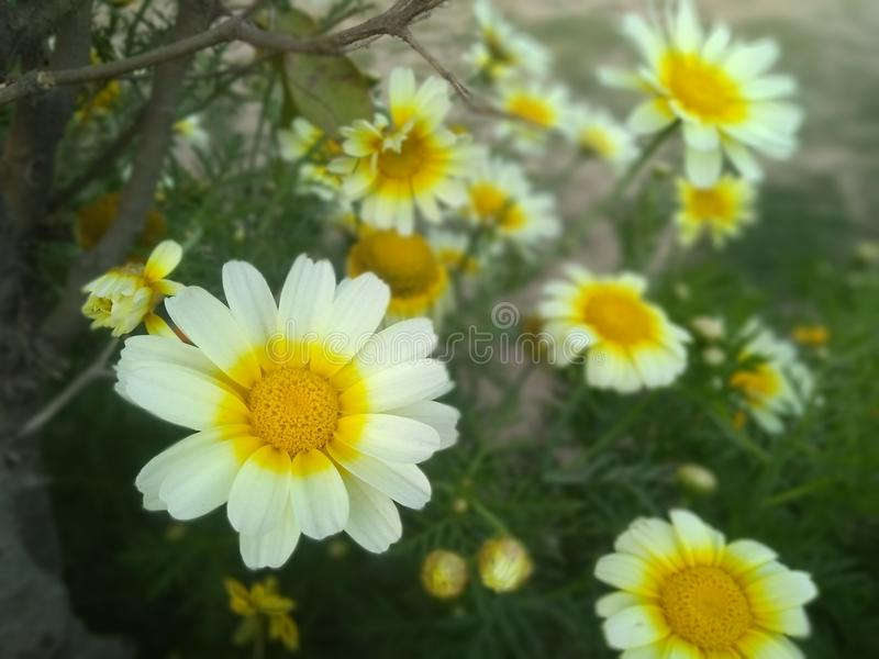 White and yellow beautiful flowers in park stock images
