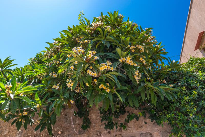 White and yellow beautiful Plumeria tree blooming on an ancient wall, against a vibrant clear blue sky. Nice summer exotic flowers royalty free stock images
