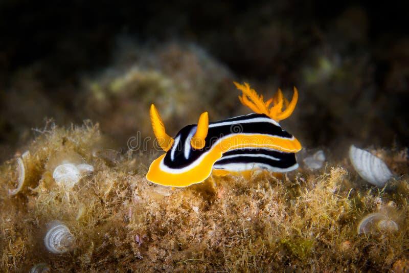 White, yellow and black nudibranch. Underwater photo. Philippine royalty free stock photos