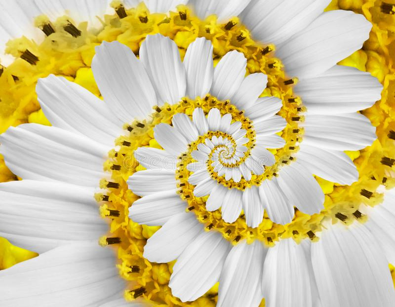 White yellow camomile daisy cosmos kosmeya flower spiral abstract fractal effect pattern background. White flower spiral abstract stock images