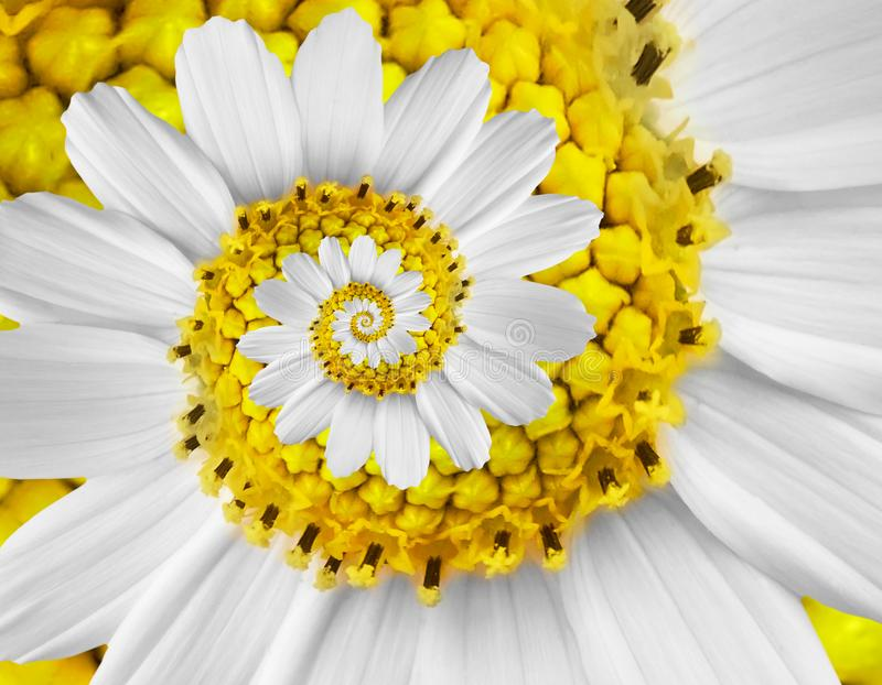 White yellow camomile daisy cosmos kosmeya flower spiral abstract fractal effect pattern background White flower spiral abstract stock images