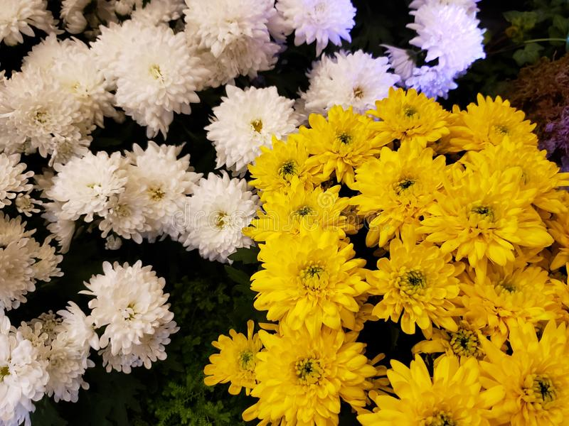 White and yellow chrysanthemum flowers in a garden. Nature and botany, flora and natural life, flower petals with intense colors for garden and park decoration stock image