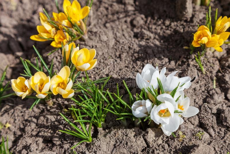 White and yellow crocus flower stock image image of flora crocus download white and yellow crocus flower stock image image of flora crocus 112155015 mightylinksfo