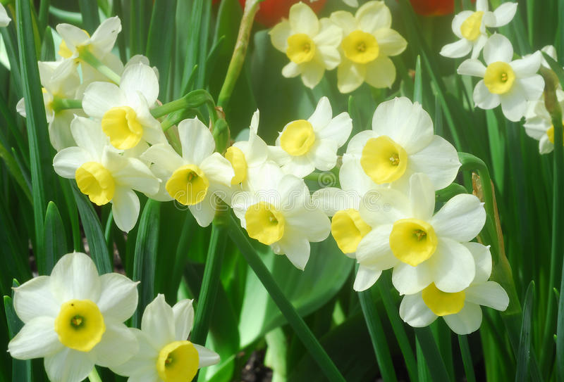 White Yellow daffodil flower. Also called Narcissus blooms in early spring stock photos