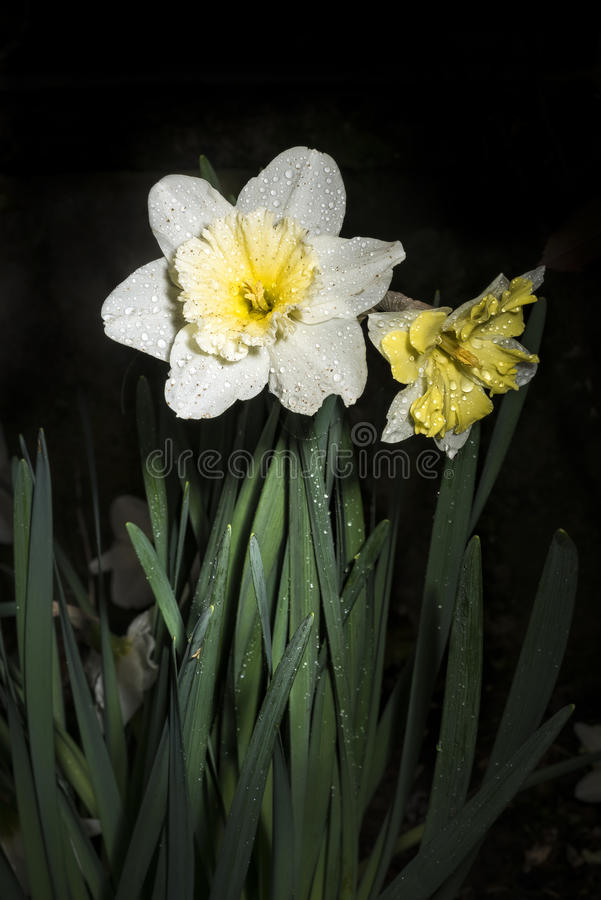 White and yellow daffodils after rain stock image
