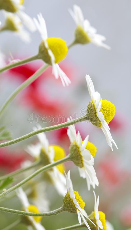 White and yellow daisies royalty free stock image
