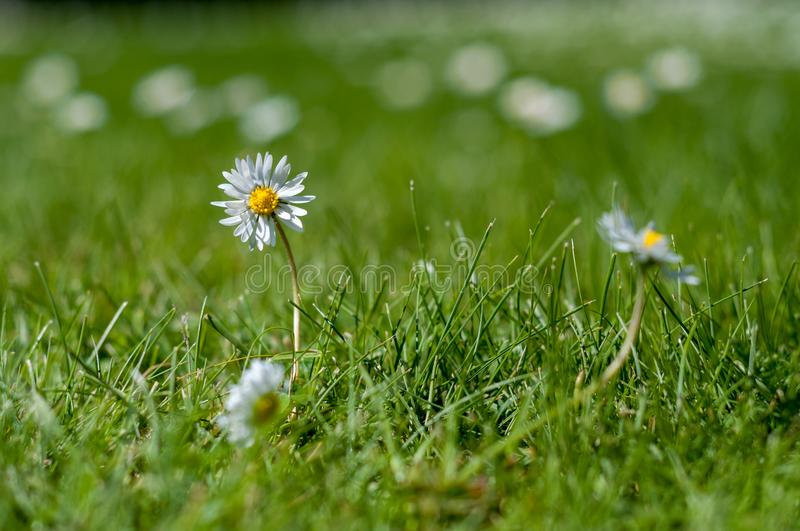 White and yellow daisies in the grass - close up - low depth of royalty free stock photography