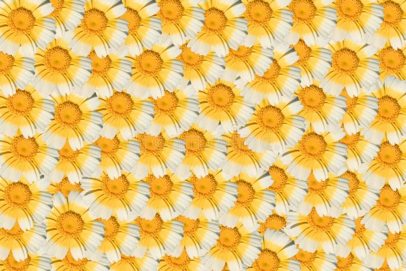 White and yellow daisy stock photo