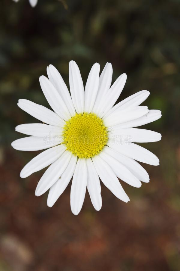 White and Yellow Daisy with blurred background royalty free stock photography