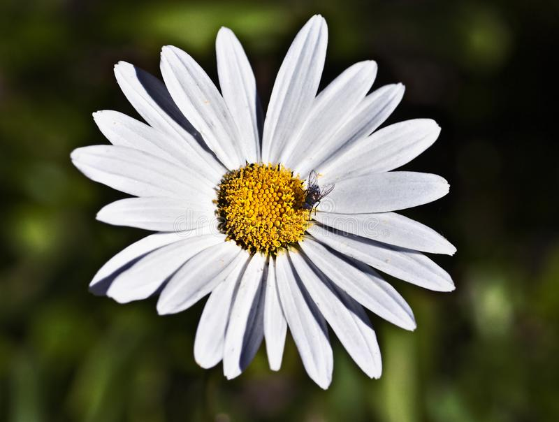 White and Yellow Daisy Flower royalty free stock photo