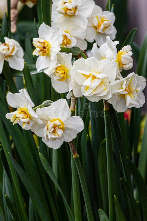 White and yellow double narcissus growing in the garden with stems. In the sunshine stock image
