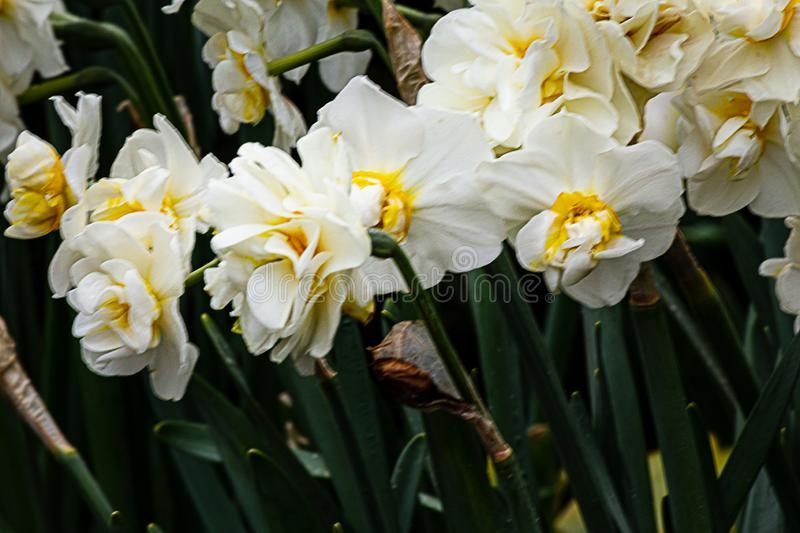 White and yellow double narcissus growing in the garden with stems. In the sunshine royalty free stock images