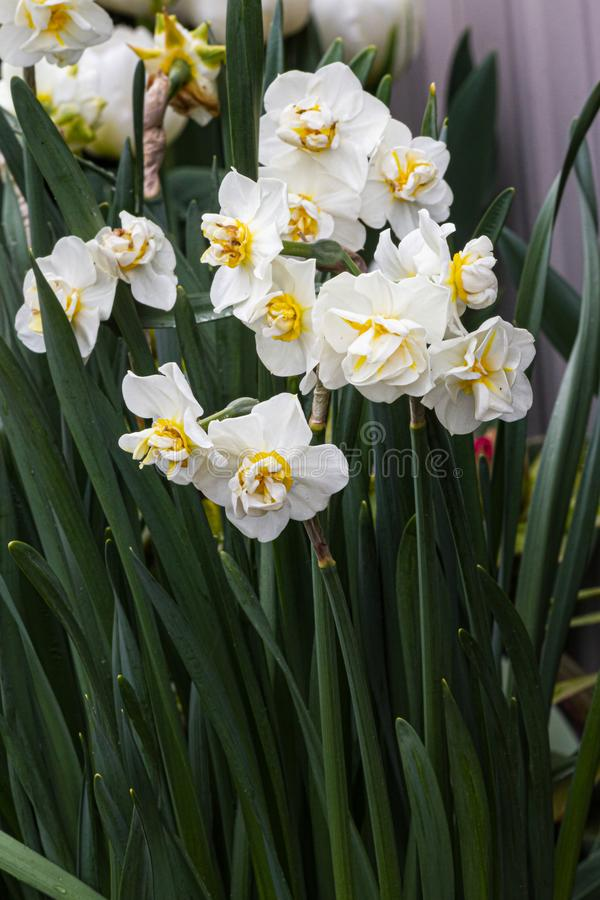 White and yellow double narcissus growing in the garden with stems. In the sunshine stock photos
