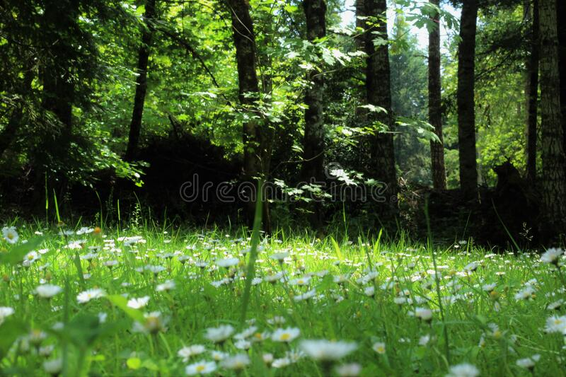 White and Yellow Flower on a Forest stock images