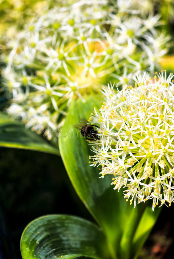 White and yellow flowering Allium flower. Close up royalty free stock photo