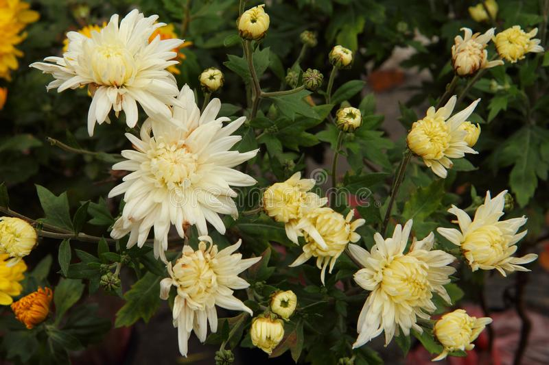 White and yellow flowering needle chrysanthemums. There are lovely large white and yellow flowering needle garden chrysanthemums. Floral background of stock images
