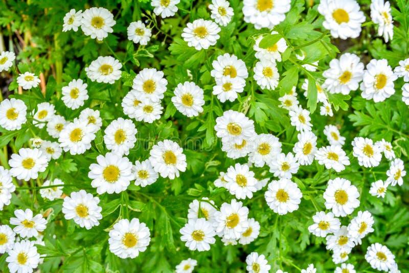 White and yellow flowers of Feverfew Pyrethrum or Tanacetum Corymbosum royalty free stock photo