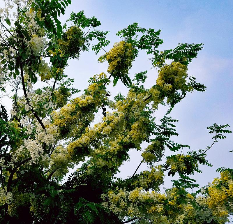 White and Yellow Flowers on a Golden Shower Tree royalty free stock image