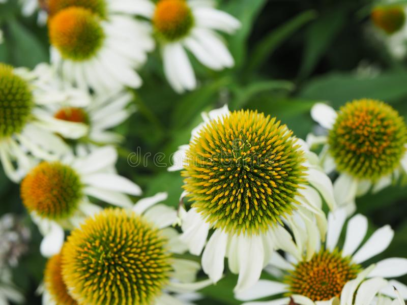 White and yellow flowers. As background, texture royalty free stock images