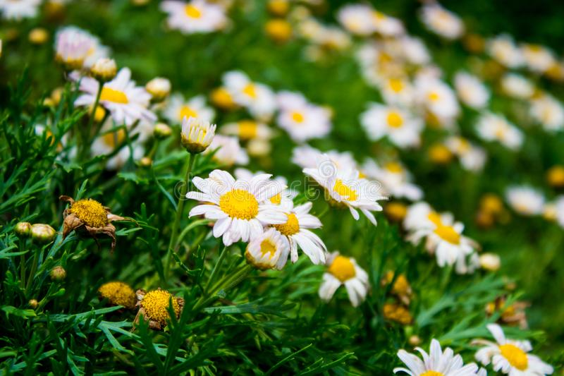 White and Yellow Flowers royalty free stock photography