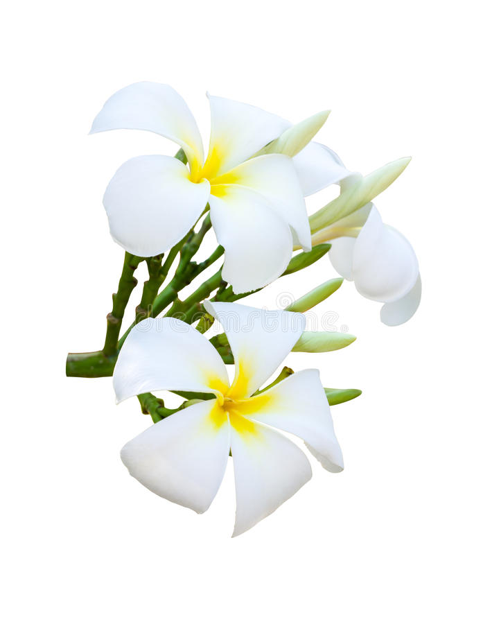 White and yellow fragrant flowers stock photo