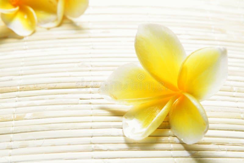 White Yellow Frangipani royalty free stock images