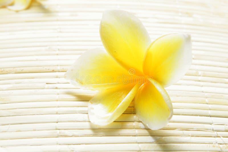 White Yellow Frangipani royalty free stock image