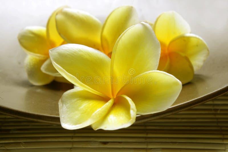 White Yellow Frangipani royalty free stock photo