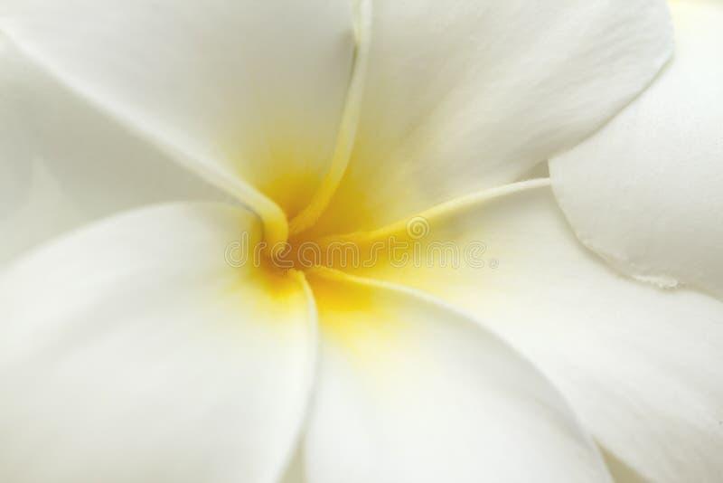 Download White And Yellow Frangipani Flowers. Stock Photo - Image: 24236166