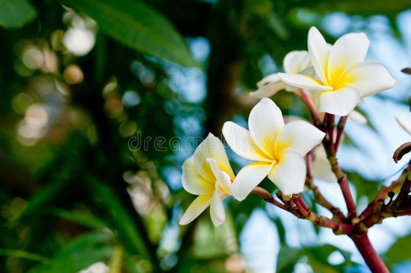 White And Yellow Frangipani Flowers Royalty Free Stock Photo