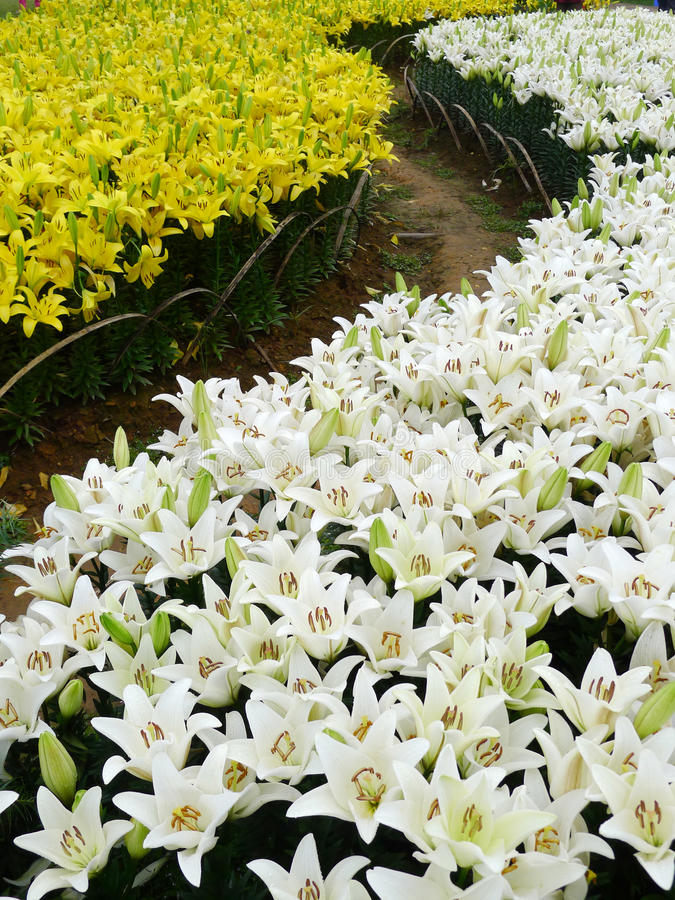 White and yellow lily flowers. In the field royalty free stock image