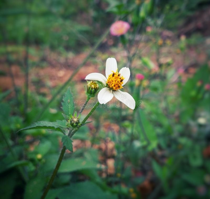 Bidens pilosa, Spanish needle, wild flower with white petals and yellow center. Bidens pilosa, Spanish needle, small wild flower with white petals and yellow royalty free stock images
