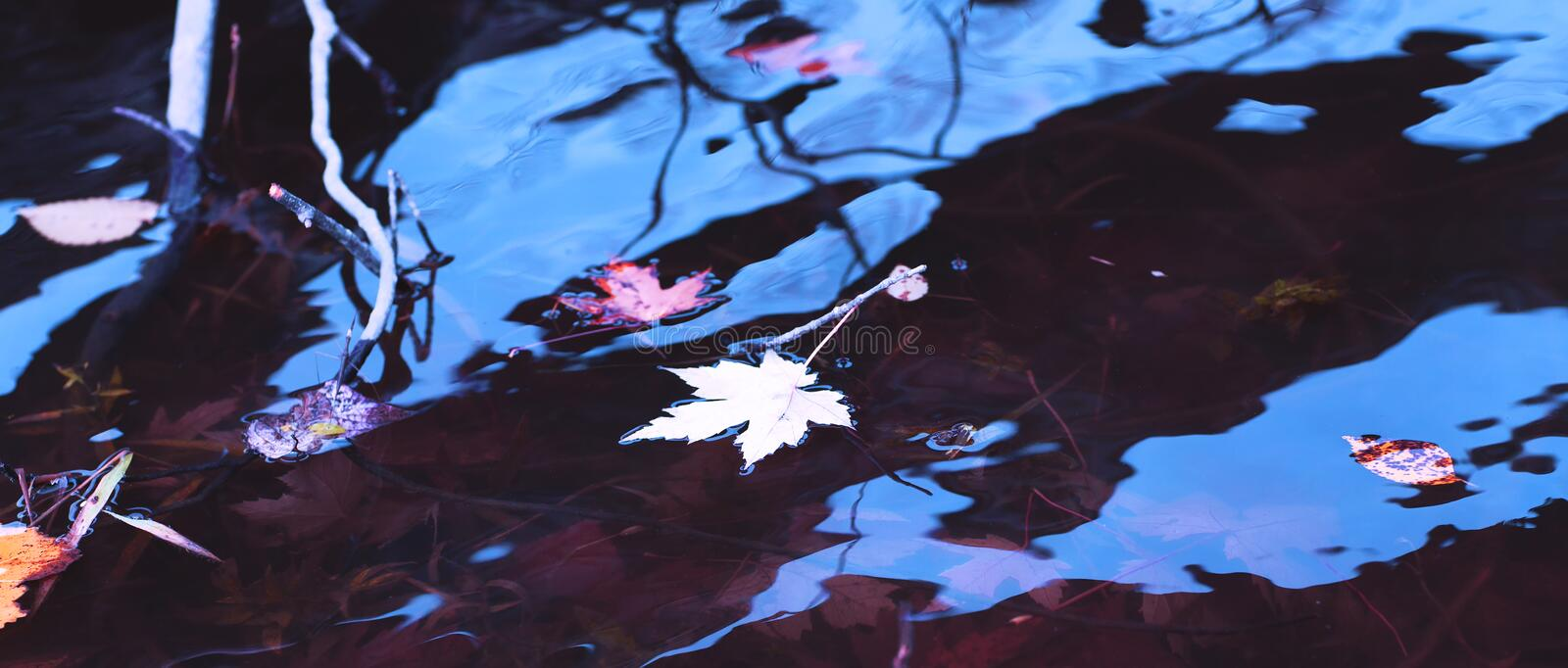 White and yellow maple leaves in the water of the river during t. He fall season. Autumn rainy day background. Awesome maple leaf and blue sky reflected on stock photos