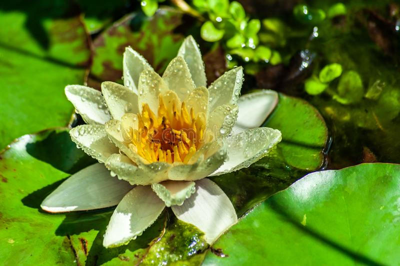 White or yellow nymphaea or water lily flower macro shot with water drops on petals in water of garden pond with green leafs. One White or yellow nymphaea or royalty free stock photos