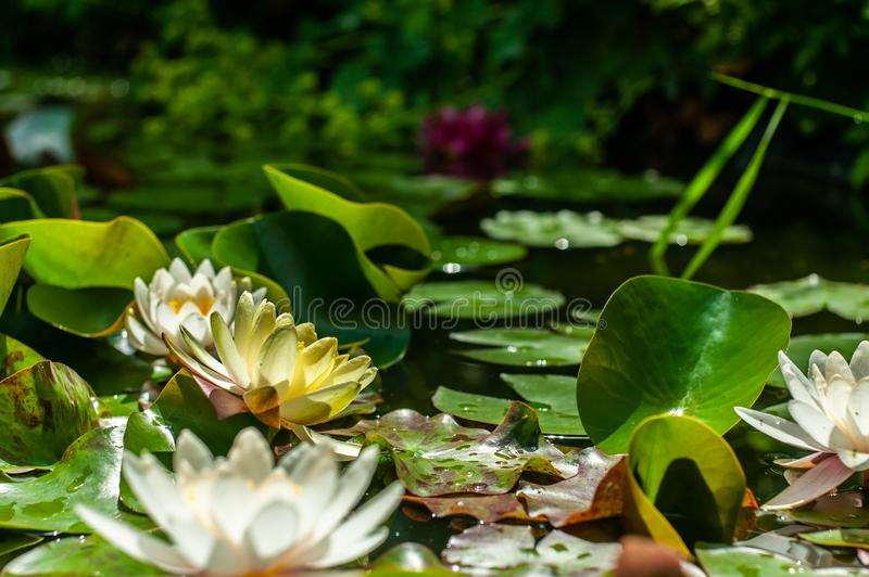 White and yellow nymphaea or water lily flowers and green leafs in water of garden pond close-up. White and yellow nymphaea or water lily flowers and green leafs royalty free stock photos
