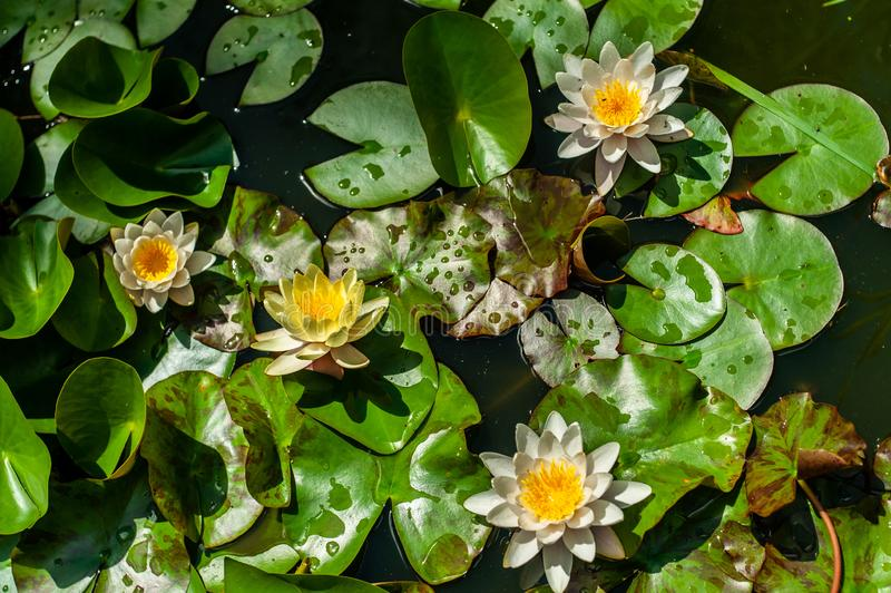 White and yellow nymphaea or water lily flowers and green leafs in water of garden pond close-up, top view. White and yellow nymphaea or water lily flowers and stock image