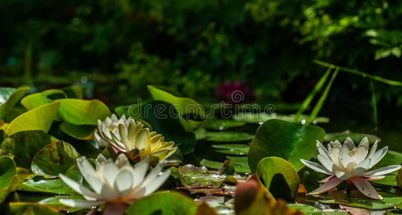 White and yellow nymphaea or water lily flowers and green leafs in water of garden pond closeup. White and yellow nymphaea or water lily flowers and green leafs royalty free stock photo
