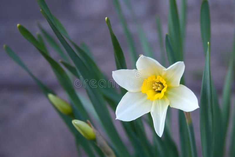 White yellow one daffodils flower on a violet background royalty free stock photography