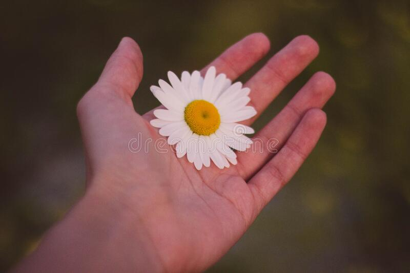White and Yellow Petaled Flower on Human Palm royalty free stock photos