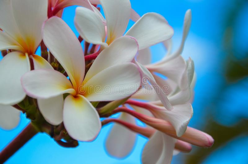 White, Yellow and Pink Plumeria with Blue Sky in Maui Hawaii. White, Yellow and Pink Plumeria with Blue Sky and Green Leaf in Maui Hawaii royalty free stock images