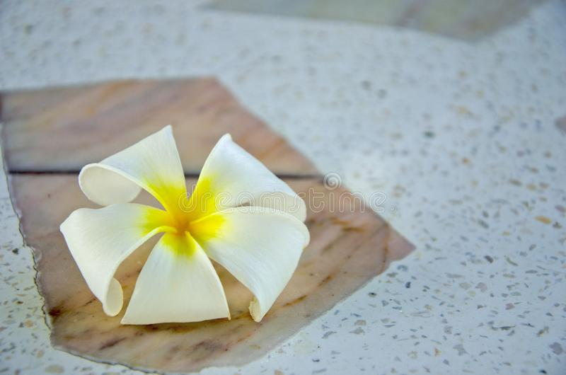 White and yellow plumeria flower on marble floor. Detail picture of white and yellow petals of plumeria flower on marble floor royalty free stock photo