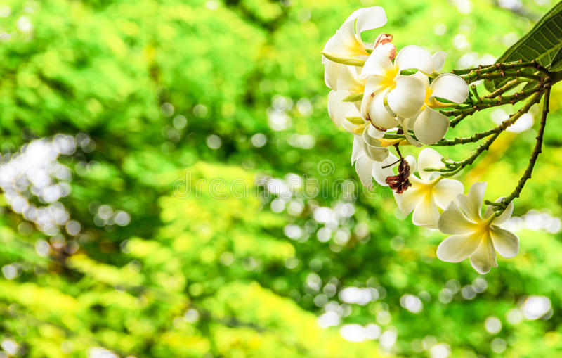 White and Yellow Plumeria flower on Plumeria tree with magical twinkling light bokehs through the bush as a background in Park royalty free stock images