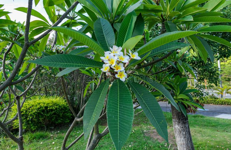 White yellow plumeria flowers on background of green leaves in summer. China royalty free stock photo