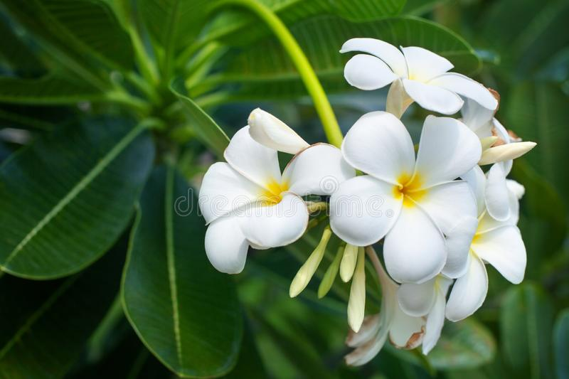 White and yellow plumeria flowers bunch blossom close up, green leaves blurred bokeh background, blooming frangipani tree branch royalty free stock photos