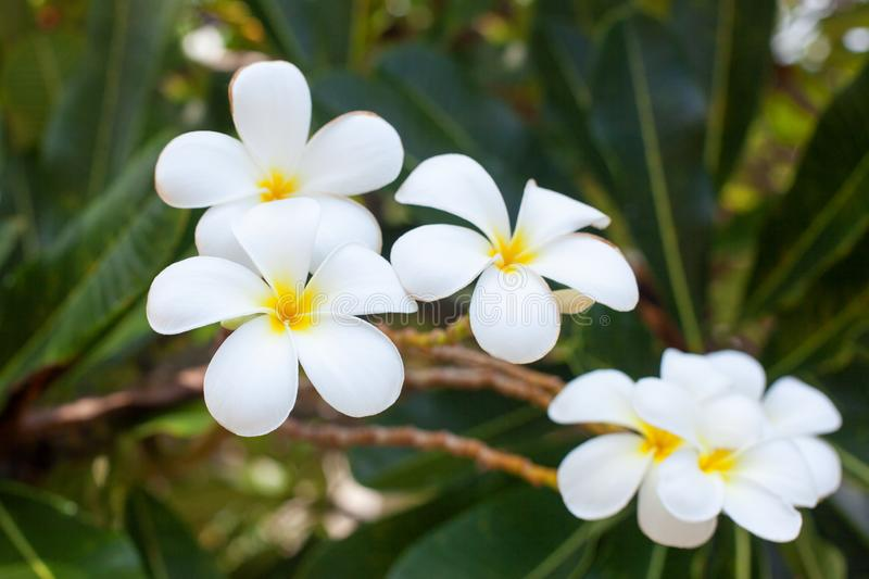 White and yellow plumeria flowers bunch blossom close up, green leaves blurred bokeh background, blooming frangipani tree branch stock photo