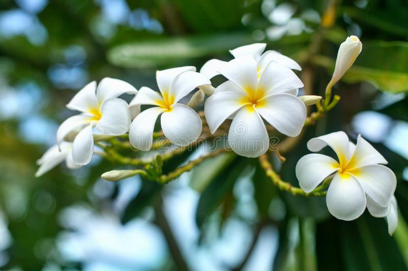 White and yellow plumeria flowers bunch blossom close up, green leaves blurred bokeh background, blooming frangipani tree branch stock photos
