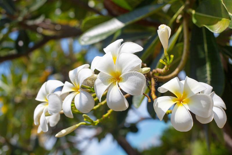 White and yellow plumeria flowers bunch blossom close up, green leaves blurred bokeh background, blooming frangipani tree branch royalty free stock image