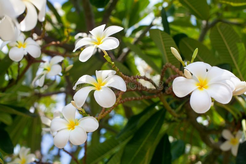 White and yellow plumeria flowers bunch blossom close up, green leaves blurred bokeh background, blooming frangipani tree branch stock images