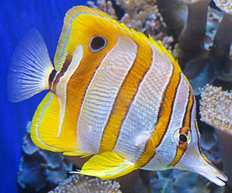 white and yellow tropical fish royalty free stock photo